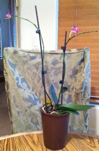 Pigtail Plant